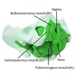 three main muscles for womens kegels
