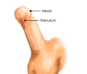 frenulum and head