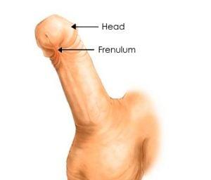 frenulum and head