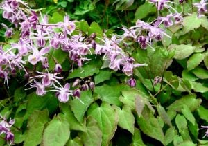 horny goat weed plant