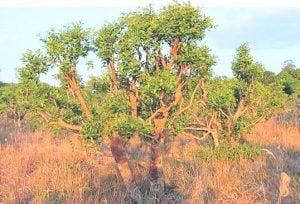 yohimbe tree
