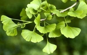 ginkgko leaf