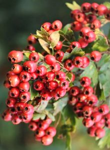 hawthorn berries in the nature
